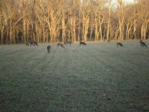 Deer grazing in Missouri Conservation Area